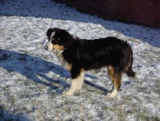 Dog Info Miniature American Shepherd Pedigree Database